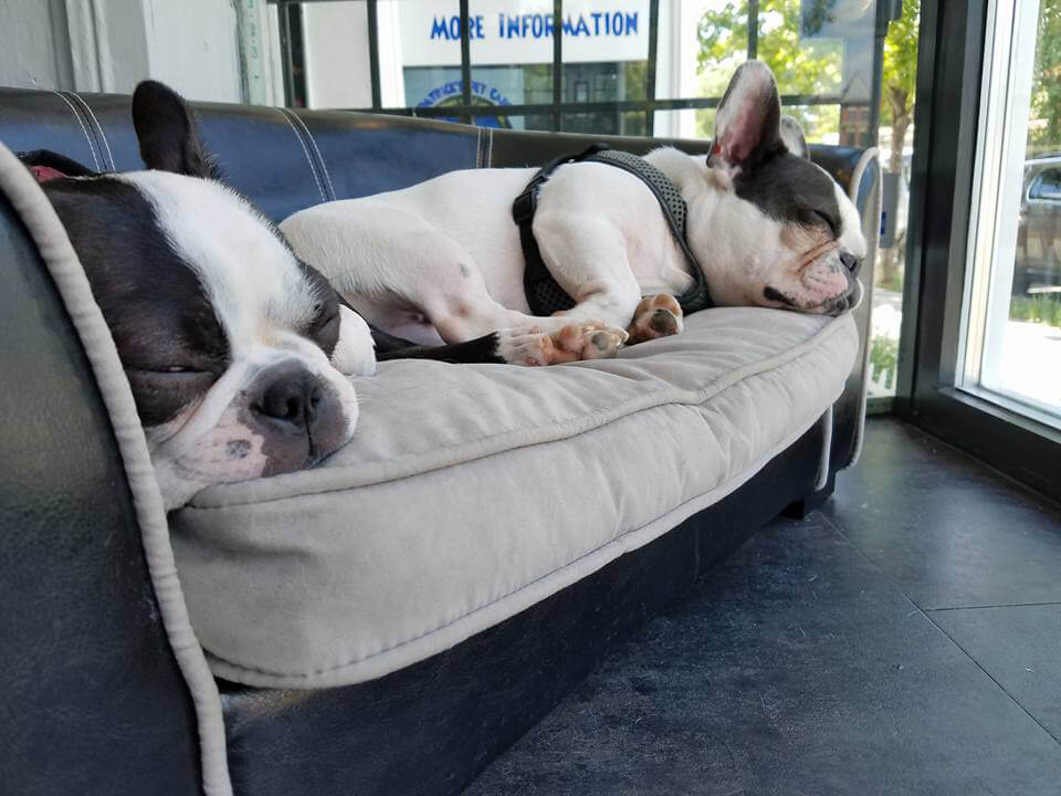 Two french bulldogs sleeping on a doggie couch.